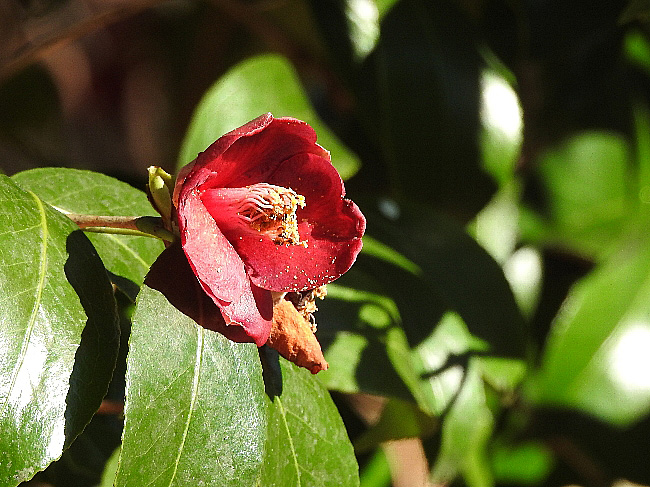 160101a つ 寒咲藪椿
