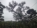 松の剪定 福岡市 北九州