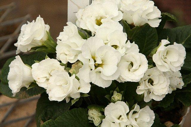 プリムラ 薔薇咲き1