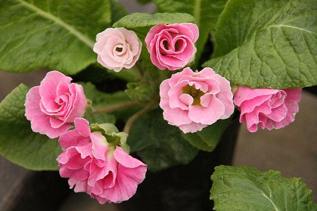 プリムラ 薔薇咲き