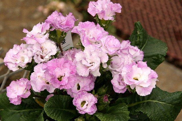 プリムラ 薔薇咲き2