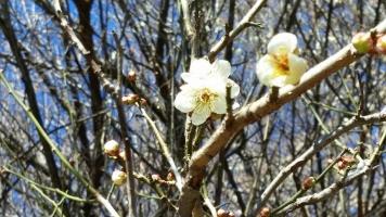 正月に咲く、梅の花