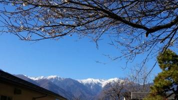 正月に咲く、梅の花①