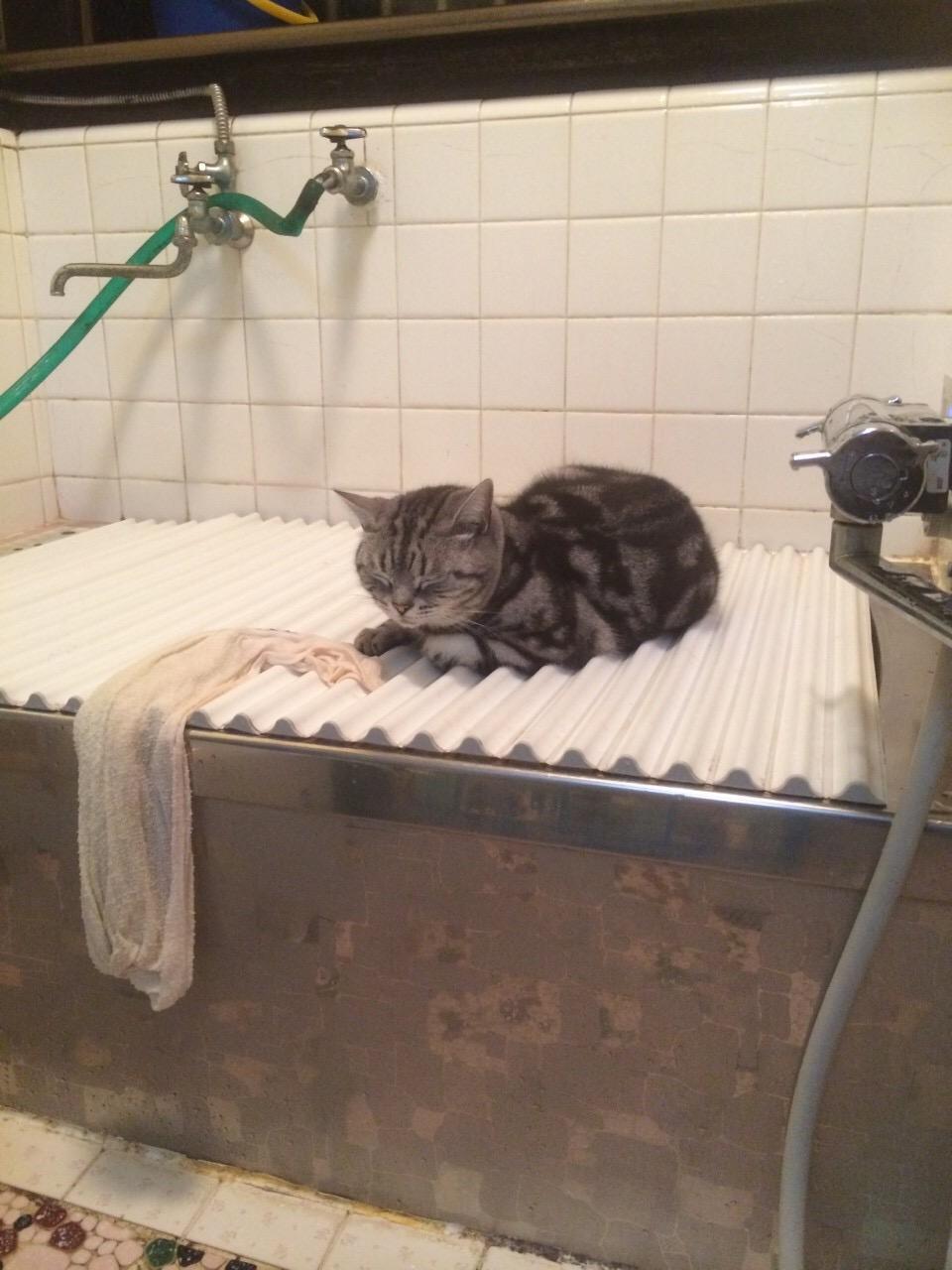 湯船のフタで寝る猫