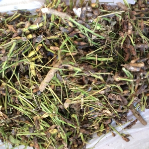 丹波の黒豆収穫