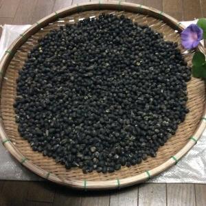 黒豆の収量