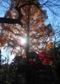 逆光で見る黄葉