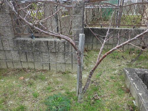 花壇 桜桃 015 12 29