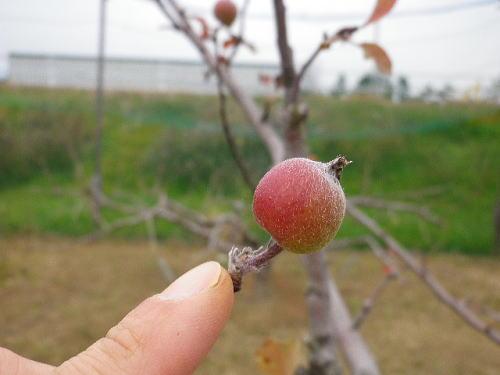 りんご 2016 1 17