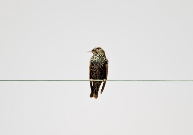 ホシムクドリ2016-01-10 098 (640x448)