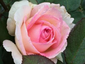 ピンクのバラ(横)