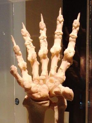 パンダの副手根骨