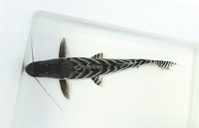 zebracat1225.jpg