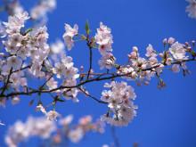 桜、春のスペシャルイベント案内