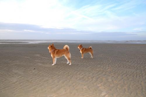 柴犬北海を眺めるのず