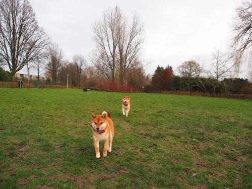 オランダのドッグランを走る2匹