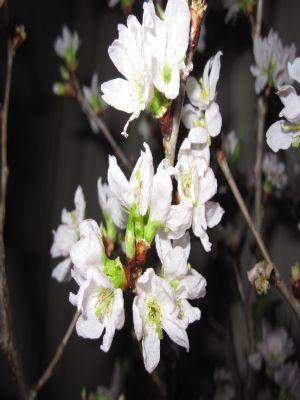 2016-01-04桜