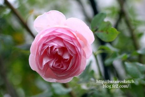 12月のバラ01