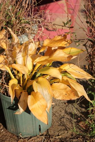 ギボウシ黄葉