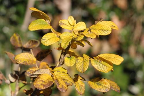 ルゴサ系のバラ