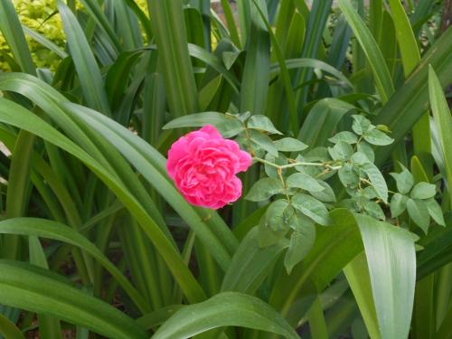 熱帯のバラ