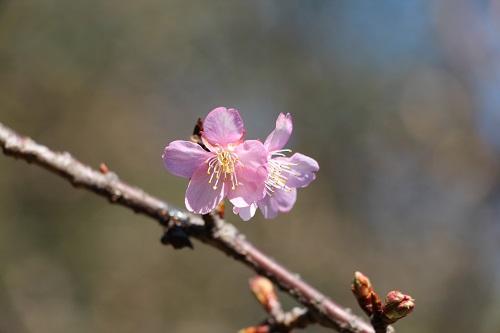 IMG_6395 s河津桜