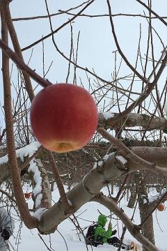 木守りりんご1-11 (39)_600