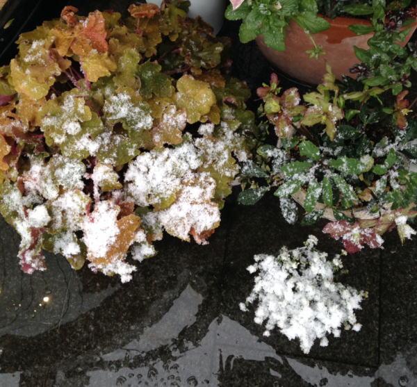 鉢植えの雪