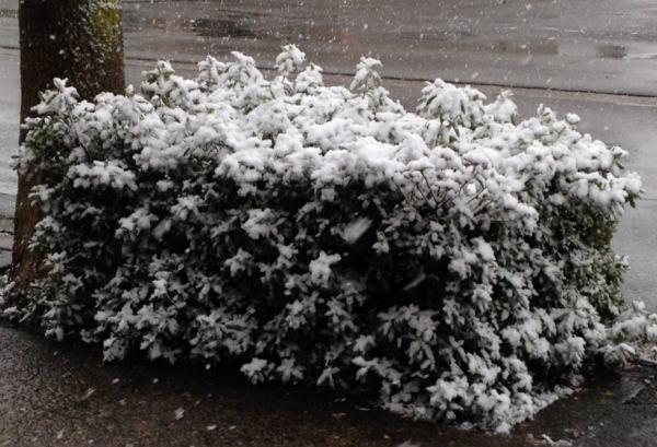 植込みの雪