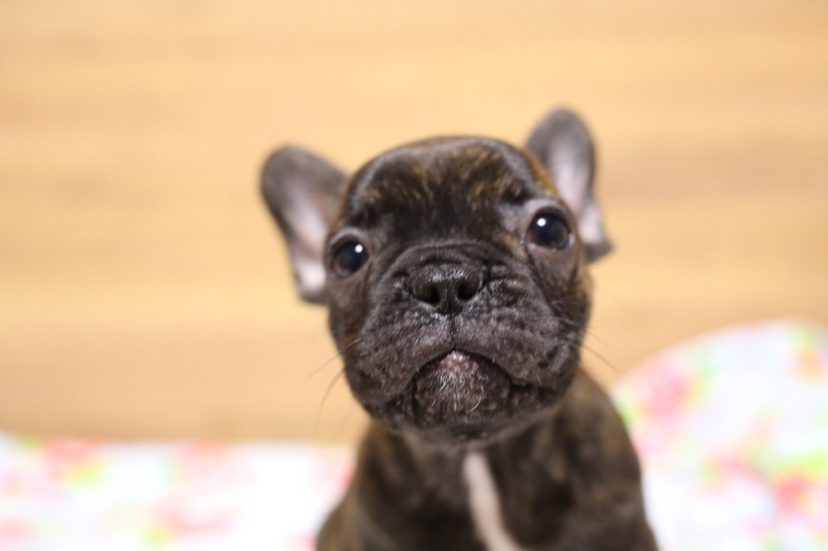 フレブル 子犬 ジーナの子 1