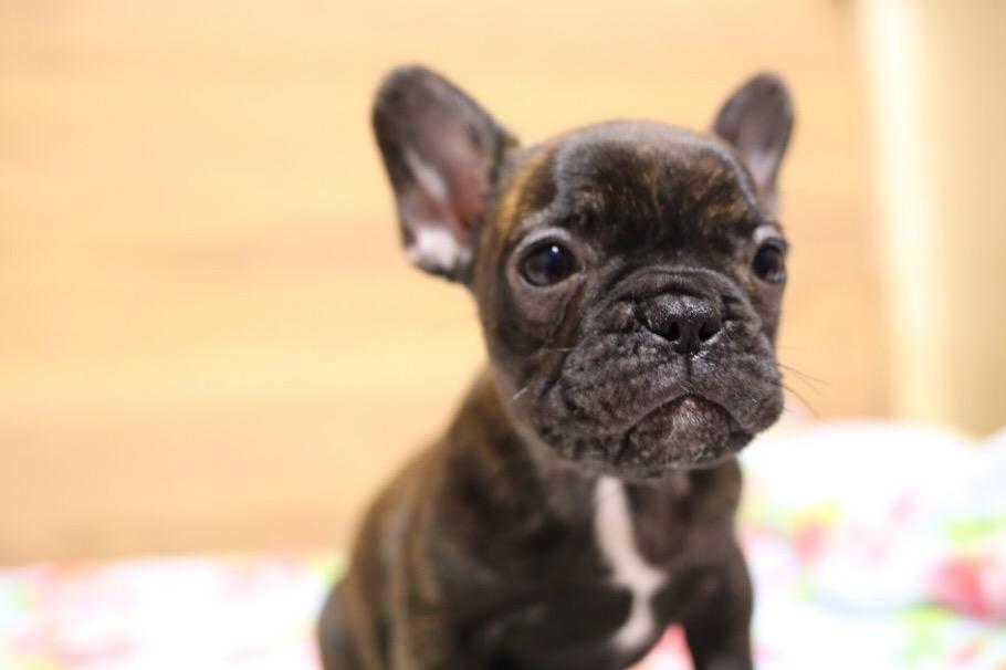 フレブル 子犬 ジーナの子 2