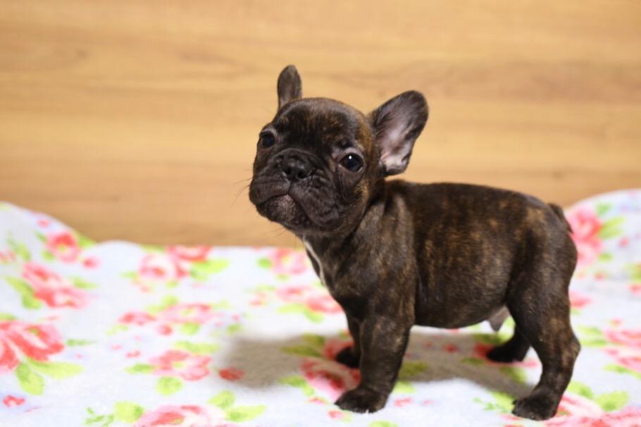 フレブル 子犬 ジーナの子 3
