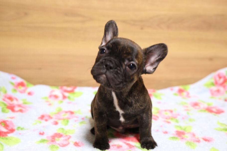 フレブル 子犬 ジーナの子 4