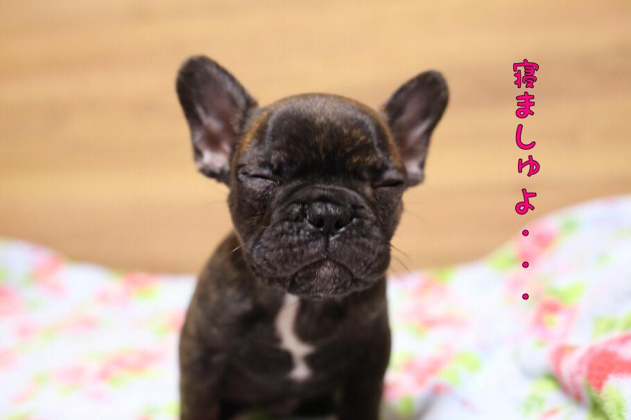 フレブル 子犬 ジーナの子 5