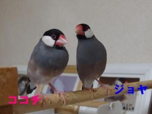 同居を始めたココちゃんとジョヤ君、、一応仲良し?