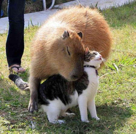 カピバラと猫が戯れる