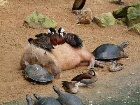 亀とカモに囲まれて眠るカピバラ