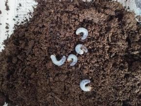 トリニダ幼虫