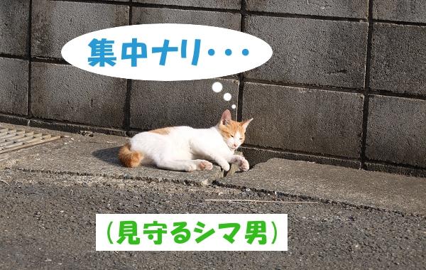 集中ナリ… (見守るシマ男)