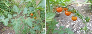 tomato_20151231104206947.jpg