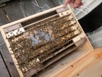 元気いっぱいのミツバチ