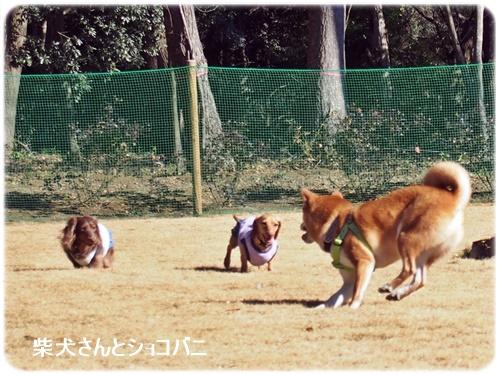 柴犬さんとショコバニ
