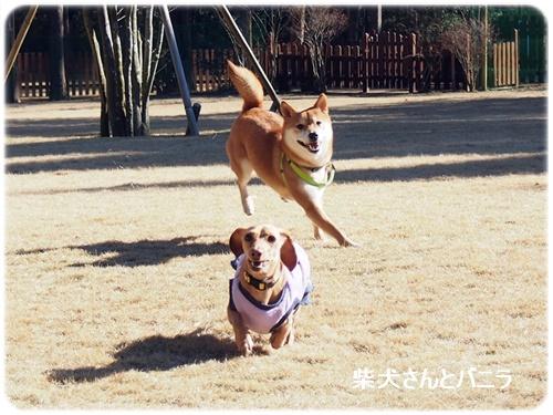 柴犬さんとバニラ