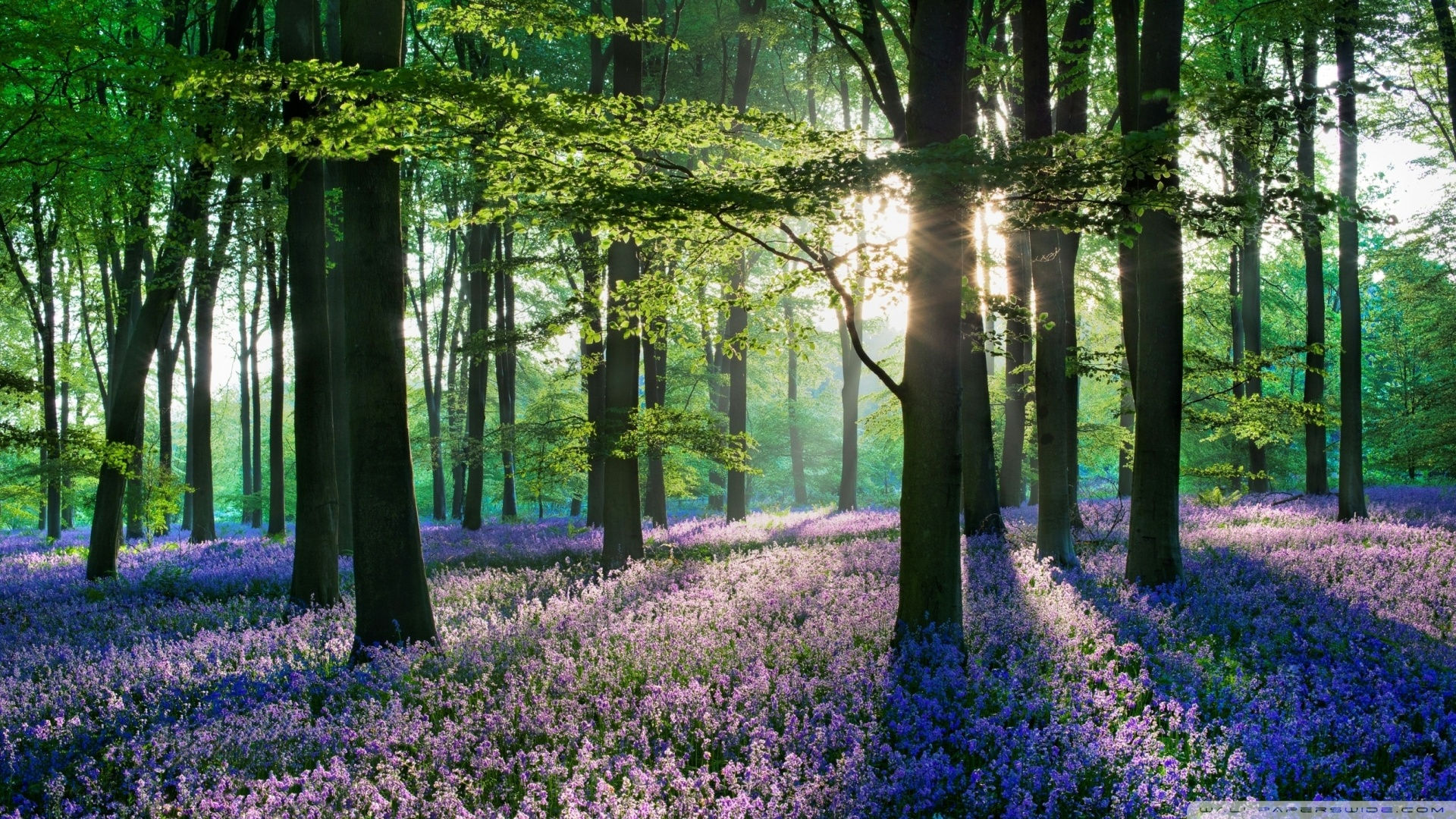 violet_forest_flowers_field-wallpaper-1920x1080 dottech org