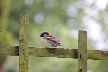 house_sparrow_on_a_fence_20566920151230.jpg
