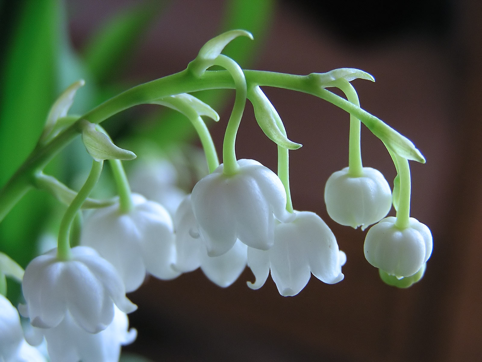 lily-of-the-valley-0120160101.jpg