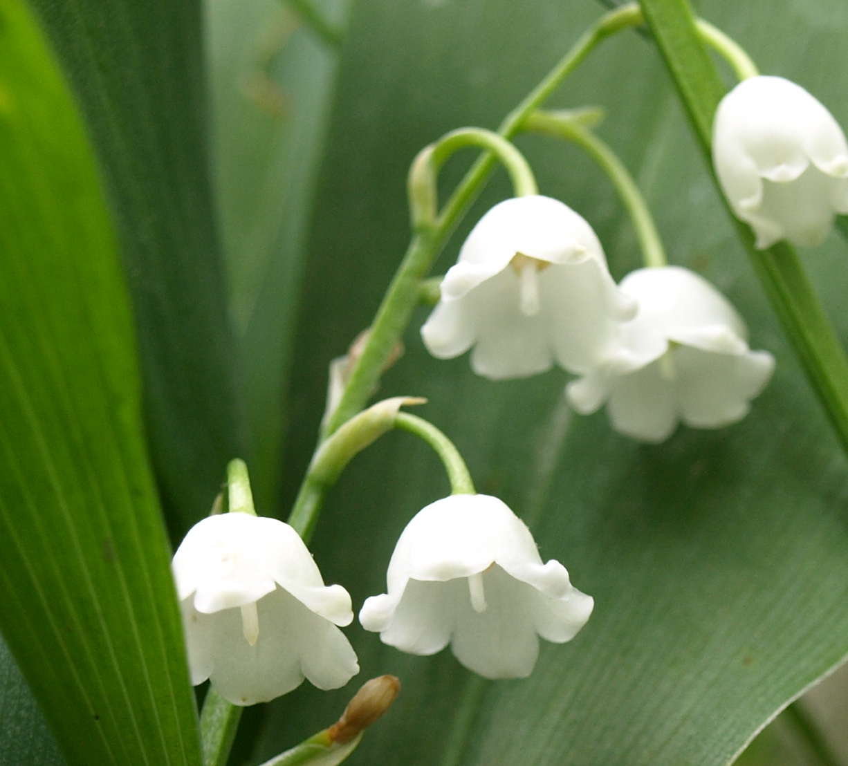lily-of-the-valley-0420160101.jpg