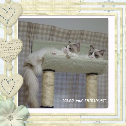 C白雪クレオ20151214IMG_1134