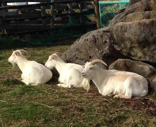 山羊0111-2
