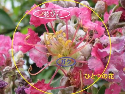 百日紅 (2)